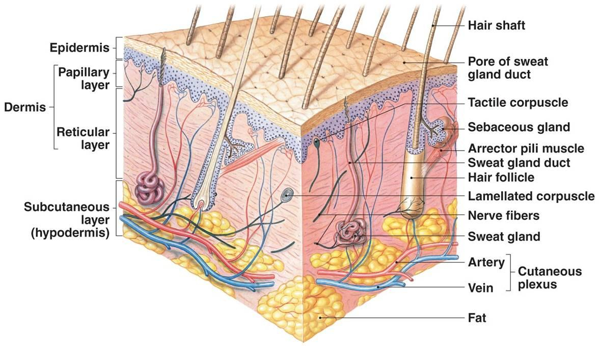 Skin Model Anatomy Labeled Anatomy Skin Model With Labels Integumentary Skin Model Labeled  - HUMAN ANATOMY